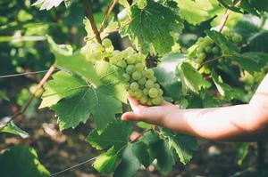 Vigne, Champage Brimont & Fils